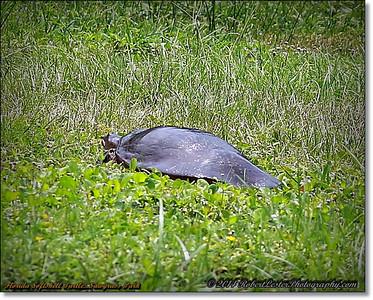 2014-06-12_IMG_1721_Florida Softshell Turtle   Sawgrass Park,St Pete,Fl _