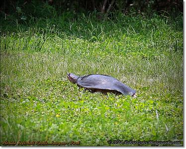 2014-06-12_IMG_1723_Florida Softshell Turtle   Sawgrass Park,St Pete,Fl _