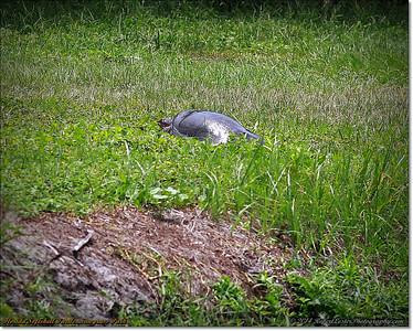 2014-06-12_IMG_1720_Florida Softshell Turtle   Sawgrass Park,St Pete,Fl _