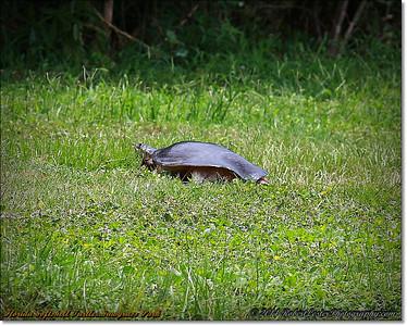 2014-06-12_IMG_1725_Florida Softshell Turtle   Sawgrass Park,St Pete,Fl _