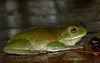 Green tree frog (male)