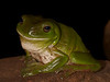 Green tree frog (female)