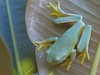 Graceful or Dainty Treefrog (litoria gracilenta)