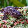 Marbled gecko, Melbourne