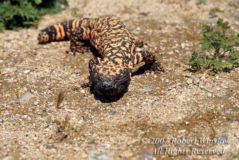 Gila Monster, Heloderma suspectum, A Venomous Beaded Lizard, Southwestern Deserts, Mojave, Sonoran and Chihuahuan deserts of extreme southwestern Utah, southern Nevada, southeastern California, Arizona and southwestern New Mexico into Mexico, North America