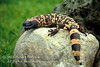 Gila Monster, Heloderma suspectum, A Venomous Beaded Lizard, Southwestern Deserts, Mojave, Sonoran and Chihuahuan deserts of extreme southwestern Utah, southern Nevada, southeastern California, Arizona and southwestern New Mexico into Mexico, North America