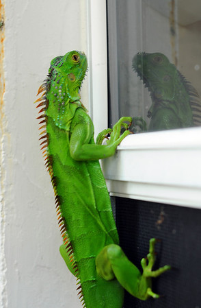 Iguana On My Window