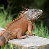 The male iguana turn orange when they are mating.