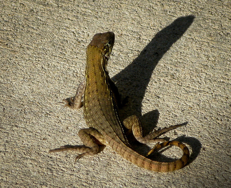 Carinate curly-Tailed Lizard (leiocephalus carinatus-iguanid family)