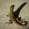 Carinate curly-Tailed Lizard (leiocephalus carinatus-iguanid family)