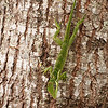 Knight Anole on Tree
