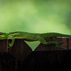Knight Anole on Fence