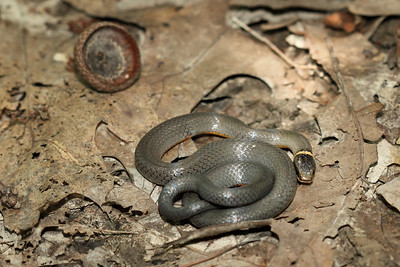 Ringneck snake - the acorn shell will give you an idea of how small this snake is.