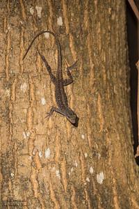 Brown Anole - Caye Caulker, Belize