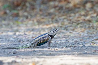 Desert Spiny-tailed Lizard - Tucson, AZ, USA