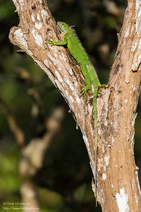 Green Iguana - Summit Ponds, Colon, Panama