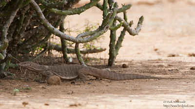 Common Indian Monitor - Kutch, Gujrat, India
