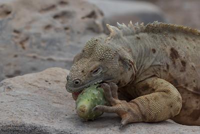 Land Iguana - Galapagos, Ecuador