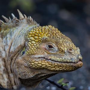 Land Iguana - Urvina Bay, Isla Isabela, Galapagos, Ecuador