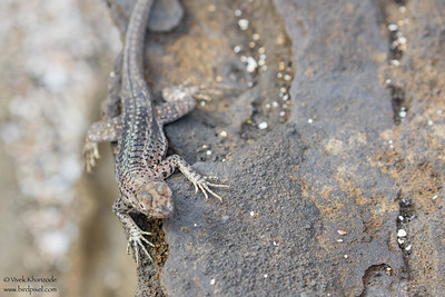 Lava Lizard - Galapagos, Ecuador