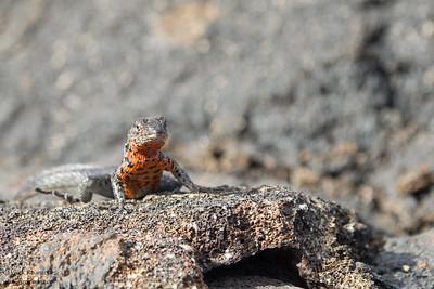 Lava Lizard - Punta Espinosa, Isla Fernandina, Galapagos, Ecuador