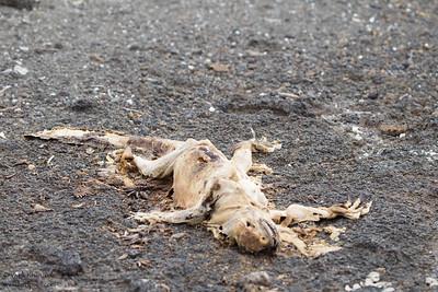 End of life - Punta Albemarle, Isla Isabela, Galapagos, Ecuador
