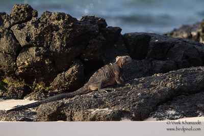 Marine Iguana lounging on the lava rocks - Isla Santa Cruz, Galapagos, Ecuador