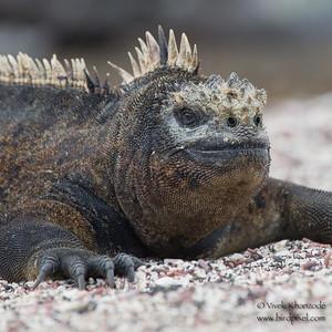 Marine Iguana - Punta Albemarle, Isla Isabela, Galapagos, Ecuador