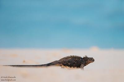 Marine Iguana - Isla Santa Cruz, Galapagos, Ecuador