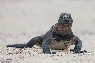 Marine Iguana- Galapagos, Ecuador