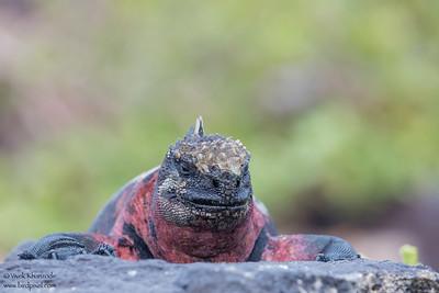 Marine Iguana - Galapagos, Ecuador