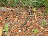 Northwestern Alligator Lizard and Garter Snake