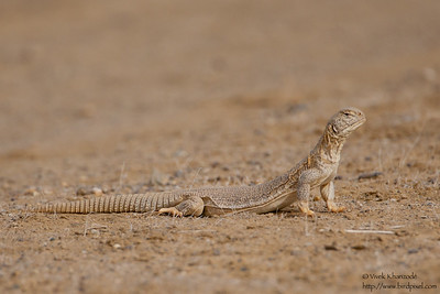 Spiny-tailed Lizard - Kutch, Gujrat, India