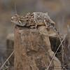Short-tailed Agama - Kutch, Gujrat, India