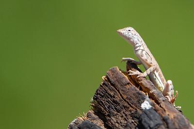 Zebra-tailed Lizard - Tucson, AZ, USA