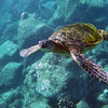 Sea Turtle, Kauai, Hawaii, Poipu, snorkeling