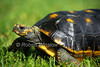South American Red-footed Tortoise, Geochelone carbonaria, Controlled Conditions