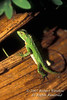 Green Lizard, Amazon Basin Rain Forest, Ecuador