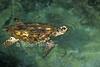 Hawksbill Sea Turtle, Eretmochelys imbricata, Captive
