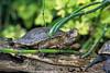 Western Pond Turtle, Clemmys marmorata, Captive, California, USA, North America