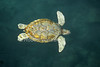 White-colored Green Sea Turtle, Chelonia mydas, Controlled Conditions, Mexico
