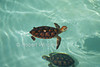 Young Green Sea Turtles, Chelonia mydas, captive