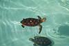 Young Green Sea Turtles, Chelonia mydas, captive
