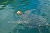 Green Sea Turtle, Chelonia mydas, Swimming, Galapagos Islands, Ecuador, South America