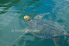 Green Sea Turtle, Chelonia mydas, Swimming, Galapagos Islands, Ecuador, South America