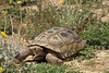 Desert Tortoise, Gopherus agassizii, Controlled Conditions, Arizona, USA, North America