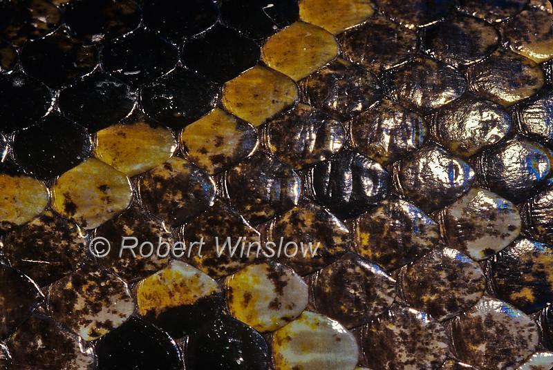 Burmese Python, Python molurus bivittatus, skin detail