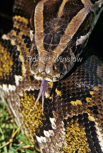 Burmese Python, Python molurus bivittatus, head detail, tounge, controlled conditions