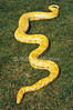Albino Burmese python, Python molurus bivittatus, Southeast Asia Native, full body length, Controlled Conditions