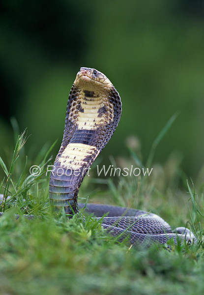 Monocled or Siamese Cobra, Naja kaouthia, Controlled Conditions